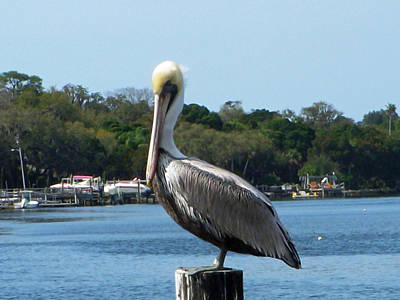 Pelicans Photograph - Pelican Point by Aimee L Maher Photography and Art Visit ALMGallerydotcom