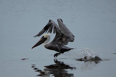 Pelican Takeoff Print by Scott Dovey
