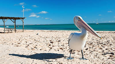 Monkey Mia Photograph - Pelican Under Blue Sky by Yew Kwang