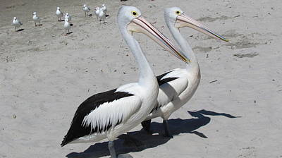 Photograph - Pelicans by Joyce Woodhouse