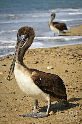 Bird Photograph - Pelicans On Beach In Mexico by Elena Elisseeva