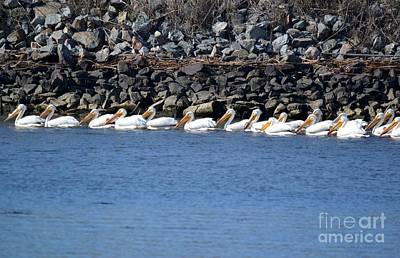 Pelicans On Slough  Print by Gero