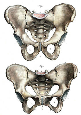 Pelvis Anatomy Print by Collection Abecasis