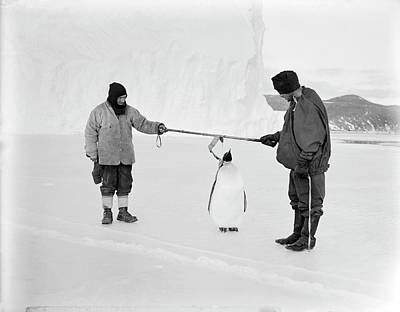 Emperor Penguin Photograph - Penguin Research In Antarctica by Scott Polar Research Institute