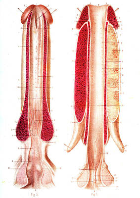 Penis Anatomy Print by Collection Abecasis