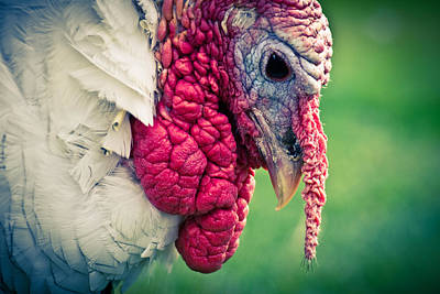 Red Photograph - Pensive Turkey by Priya Ghose