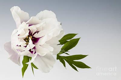 Peony Flower On Gray Print by Elena Elisseeva