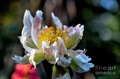 Peony Photograph - Peony Green Lotus by Tanya  Searcy