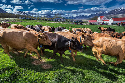 People Watching Photograph - People Watch As A Dairy Cows Are Set by Panoramic Images