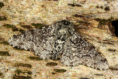 Peppered Moth Print by Nigel Downer