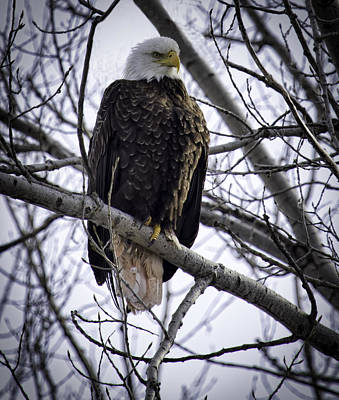 Perched Adult American Bald Eagle Print by Thomas Young