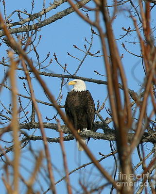 Perched American Bald Eagle  Print by Neal  Eslinger