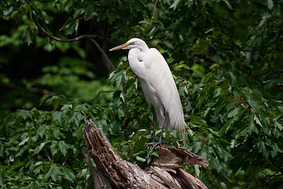 Avian Photograph - Perched Great Egret by Benjamin DeHaven