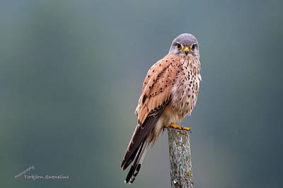 Pinion Photograph - Perching by Torbjorn Swenelius