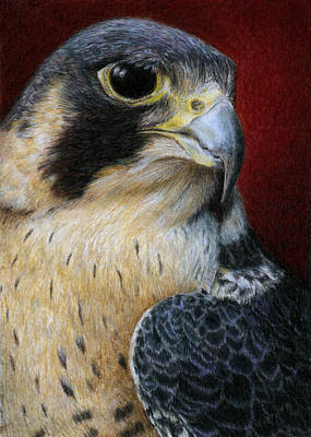 Colored Pencil Painting - Peregrine Falcon by Pat Erickson