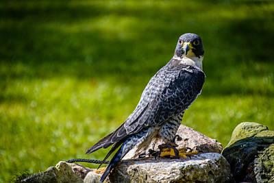 Peregrine Falcon Print by Randy Scherkenbach