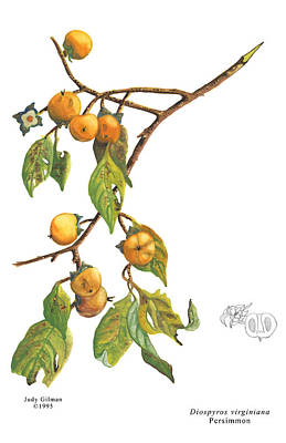 English Gouache Painting - Persimmon by Judy Gilman