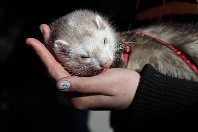 Pet Ferret Licking A Hand Print by Ulrich Kunst And Bettina Scheidulin