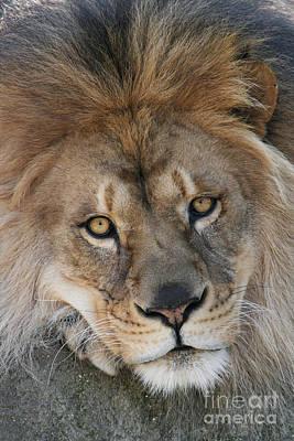 Lion Photograph - Pet Me by Judy Whitton