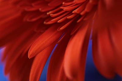 Macro Flower Photograph - Petals by Connie Handscomb