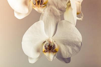 Photograph - Phalaenopsis Closeup by Sviatlana Kandybovich