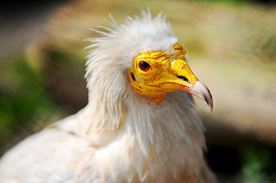 Vulture Photograph - Pharaoh Chicken. Egyptian Vulture by Jenny Rainbow