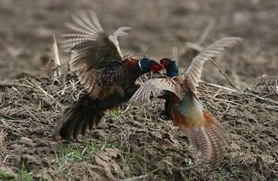 Photograph - Pheasant Batle by Dragomir Felix-bogdan