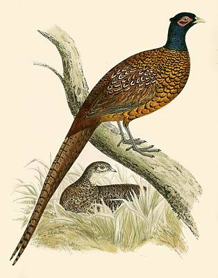 Natural Art Drawing - Pheasant by Beverley R Morris