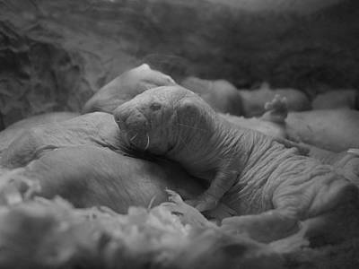 Philadelphia Zoo - Naked Mole Rat Print by Richard Reeve