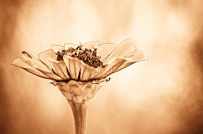 Sepia Flowers Photograph - Phillies Need A Win by Trish Tritz