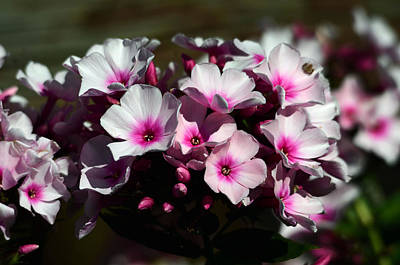 Phlox With A Fuchsia Accent Original by Chris Tennis
