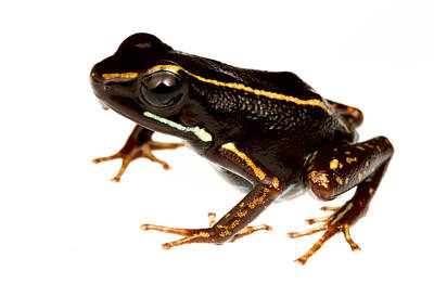 Frogs Photograph - Phyllobates Lugubris by JP Lawrence