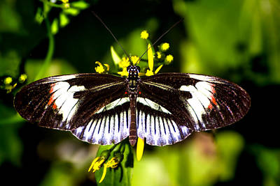 Butterfly Photograph - Piano Key Butterfly by Mark Andrew Thomas