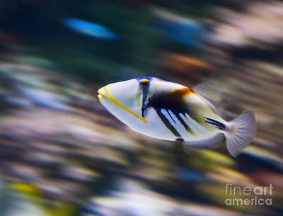 Triggerfish Photograph - Picasso - Lagoon Triggerfish Rhinecanthus Aculeatus by Jamie Pham