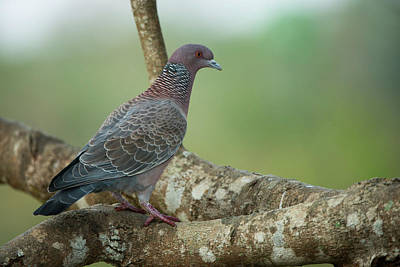 Pigeon Photograph - Picazuro Pigeon (patagioenas Picazuro by Pete Oxford