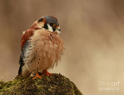Shelley Myke Photograph - Picture Perfect American Kestrel  by Inspired Nature Photography Fine Art Photography