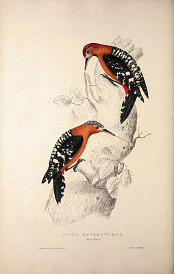 Woodpecker Drawing - Picus Hyperythrus, Rufous-bellied Woodpecker. Birds by Quint Lox