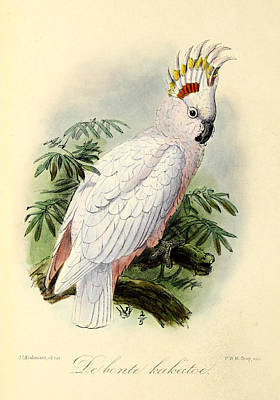 Cockatoo Painting - Pied Cockatoo by J G Keulemans