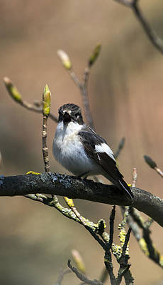 Pied Flycatcher Calling Original by Bob Kemp