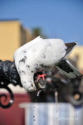 Pigeon Drinking Water At The City Of Rhodes Print by George Atsametakis