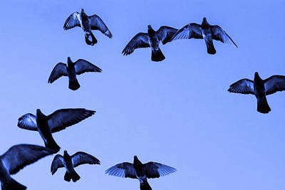 Soaring Mixed Media - Pigeon Flying In Blue Sky by Toppart Sweden