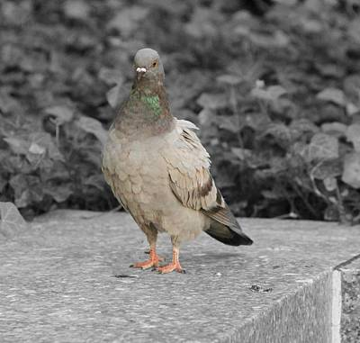 Pigeon Photograph - Pigeon In New York City by Dan Sproul