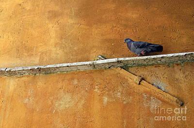 Photograph - Pigeon On Ochre Wall by Sami Sarkis