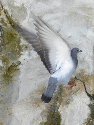 Pigeon Spreading Wings For Takeoff Print by Noreen HaCohen