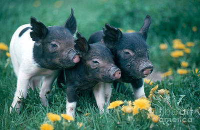 Pig Photograph - Piglets by Alan and Sandy Carey