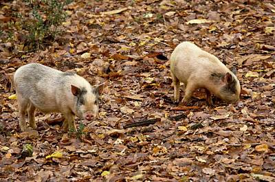 Pig Photograph - Pigs Foraging by Bob Gibbons