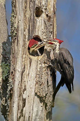 Pileated Woodpecker And Chick Print by Susan Candelario