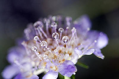 Pincushion Photograph - Pincushion Drops by Rebecca Cozart