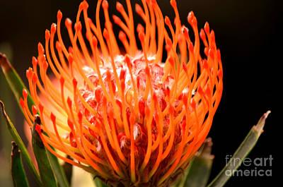 Pincushion Protea Print by Deb Halloran
