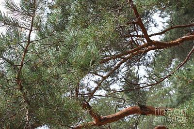 Pine Branches Print by Evgeny Pisarev
